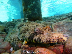 Under the jetty at Taba, this Crocodilefish looks easy to... by Jeffrey Ott